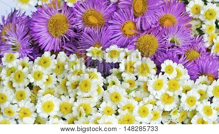 Beautiful background of chrysanthemums and of daisy
