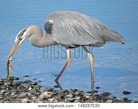 A  Great blue heron, Ardea herodias, brings a fish ashore