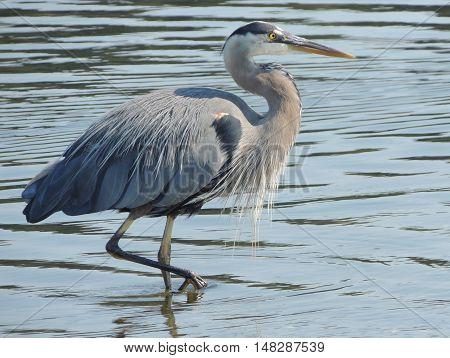 A Great blue heron, Ardea herodias, strolls through the water
