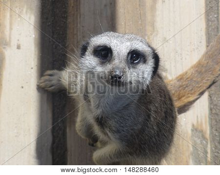 A meerkat looking curiously up at the camera