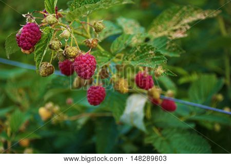 Very ripe red raspberries on the bush.
