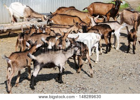 Herd of different colored goats in nature