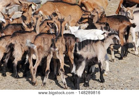 Closeup of a red-furred goat in a herd at a farm