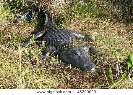 Big Crocodile is sunbathing on the meadow