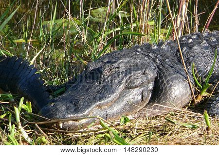 head of Crocodile is sunbathing in the meadow
