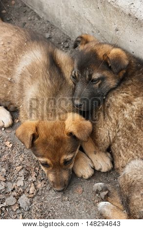 Two homeless puppy lying on the ground close to each other. View from above. Soft focus