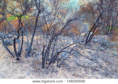 Charcoaled landscape including a burnt forest caused from the Blue Cut Fire near Cajon, CA