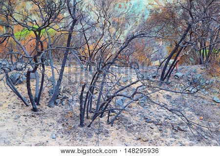 Charcoaled landscape with burnt trees and plants taken after a wildfire
