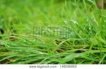 Splendor in the grass, of dew on the grass