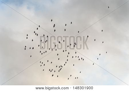 Large flock of wild starlings flying against an overcast sky
