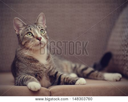 The domestic striped cat with white paws lies on a sofa.