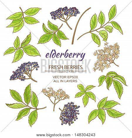 elderberry elements vector set on white background