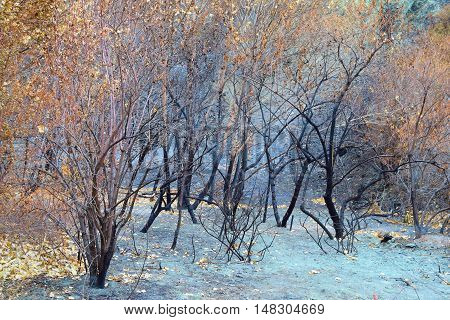 Charcoaled landscape with a layer of ash surrounding a burnt forest taken after a wildfire