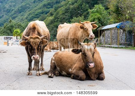 A small herd of cows lying on the road in Abkhazia.