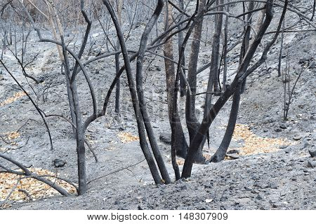 Charcoaled landscape and a layer of ash surrounding a burnt forest taken after a wildfire