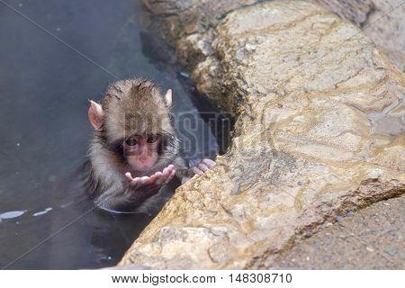 Baby monkey in hot springs. Jigokudani Monkey Park. Nagano. Japan.