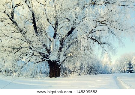Winter nature landscape view. Winter forest landscape in early winter morning- deciduous frosty tree with spreading branches in warm sunlight. Winter nature view with snowy winter forest - winter sunny landscape