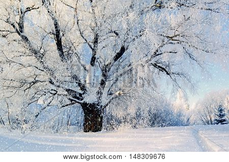 Winter nature. Winter forest landscape in early winter morning- deciduous frosty tree under winter snowfall and warm sunlight. Winter nature view with snowy winter forest - winter sunny landscape