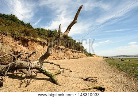 Fallen Tree Beach Erosion On Mersea Island