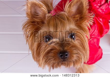 One Yorkshire Terrier in red overalls with pet diapers sits on purple background