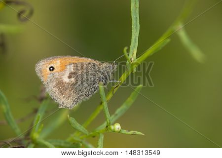Small Heath (Coenonympha pamphilus) butterfly resting on a plant