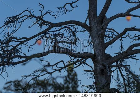 Old snag with blurred hot air balloons on the background appearing as fruits hanging from the branches of the tree against blue sky in Helsinki, Finland on summer evening.
