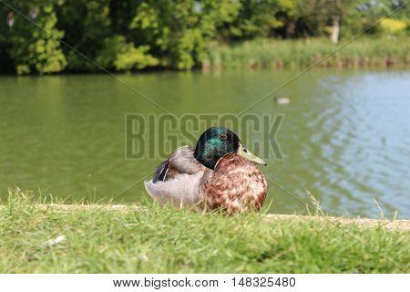 A mallard duck relaxing by the water edge