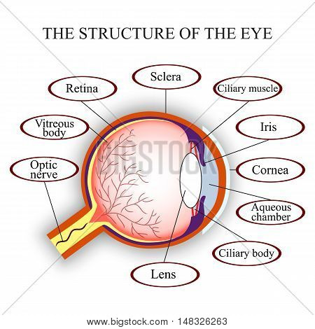 Scheme the structure of the human eye vector illustration.