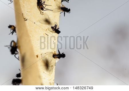 Dead Flies Stuck On A Sticky Fly Trap