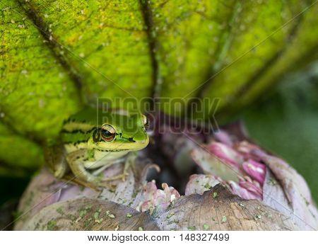 Frog green shady spot under a lotus leaf.