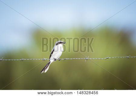 Loggerhead shrike sitting on a barbed wire fence.