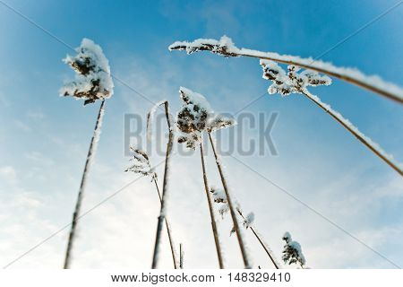 The stems of the reed on the snow background . stems in snow. Russia