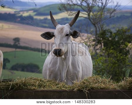 Nelore cattle cow ranch tropical pasture Brazil