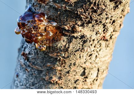 Tree Sap From A Cherry Trunk In Sunshine