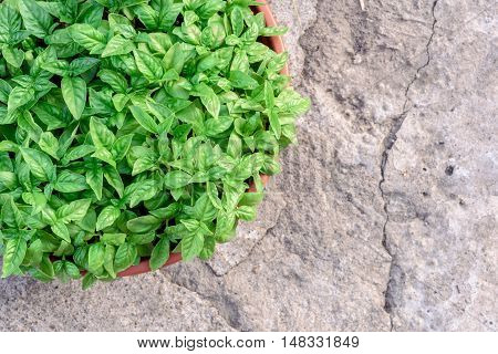 Green Basil Bush In A Pot And Grey Stone Background