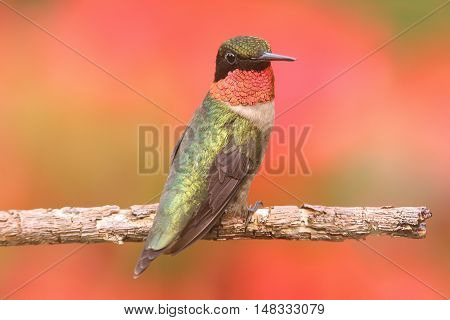 Male Ruby-throated Hummingbird (archilochus colubris) on a perch with a colorful background