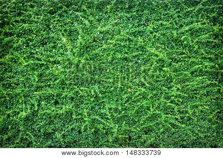 Backdrop of green leaves natural wall texture.