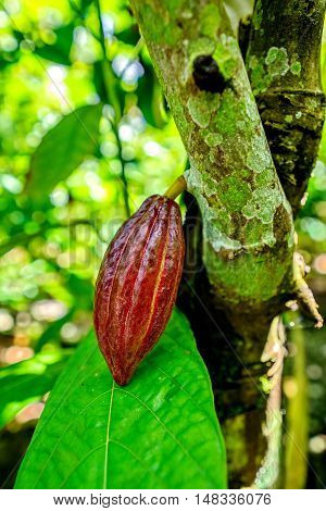 Cocoa fruit on tree in the organic farm