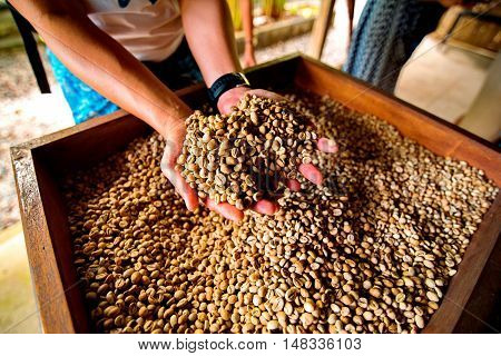 dry coffee beans in a farmer hand