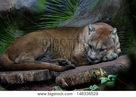 Cougar Or Mountain Lion - Puma Concolor