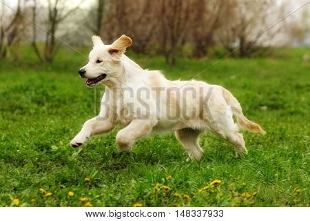 Small funny puppy dogs Golden Retriever runs in the summer on a green meadow. Fun ride up ears funny pet