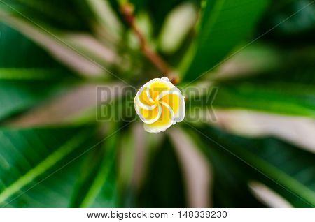 Plumeria flower spinnig in the mornig .