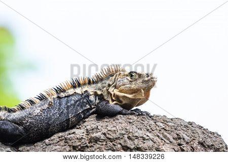 Large Lizard In Costa Rica