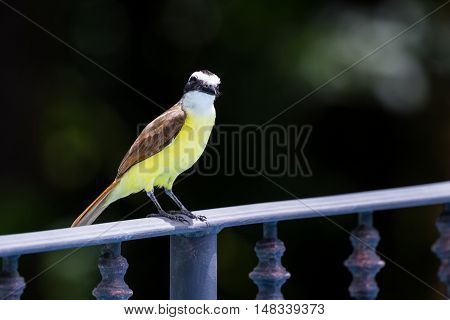 Great Kiskadee In Costa Rica
