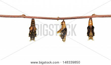 Isolated Mature Chrysalis Of Colour Segeant Butterfly With Skin