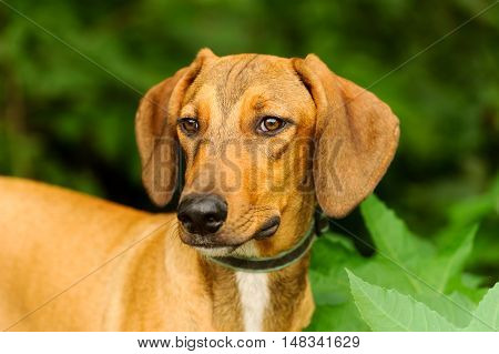 Dog face is a beutiful hound dog looling very serene as he is outdoors being in nature.