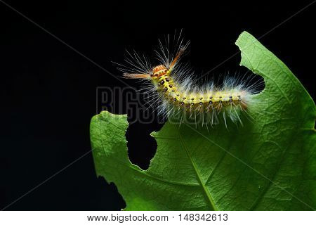 Woolly caterpillar on the green leaf with dark background