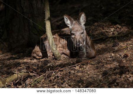 Siberian musk deer (Moschus moschiferus). Wildlife animal.