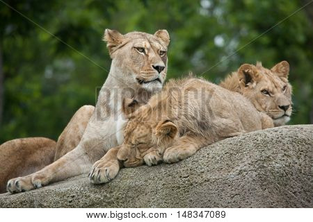 Lioness with two juvenile male lions (Panthera leo). Wildlife animal.