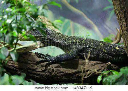 Crocodile monitor (Varanus salvadorii), also known as the Salvadori's monitor. Wildlife animal.